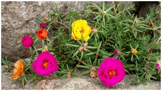 Floarea de piatra, portulaca - inmultire si ingrijire
