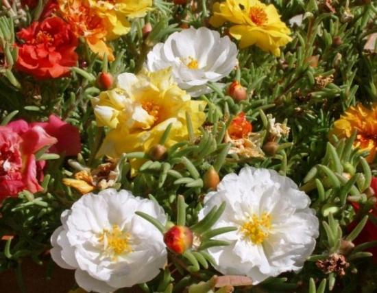 Flori de piatra albe si galbene