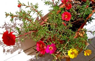 Flori portulac in jardiniere