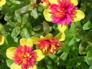 Portulac cu flori galben cu roz