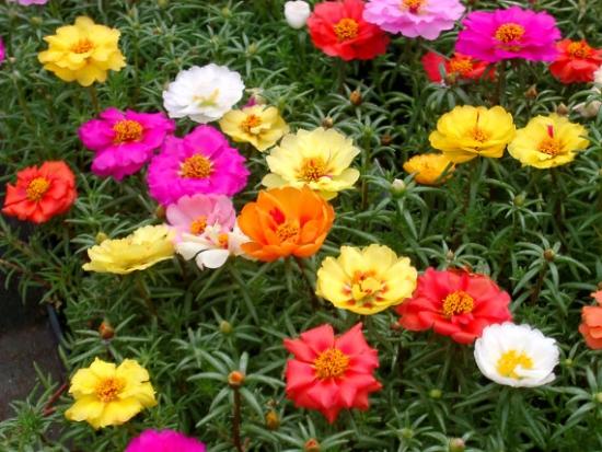 Portulaca grandiflora culori diferite