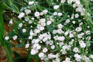Flori albe de Gypsophila Paniculata