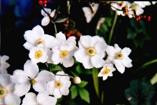Anemone albe