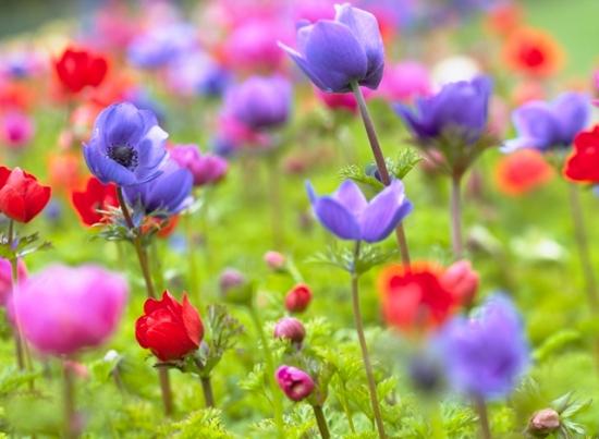 Anemone colorate divers plantare in gradina