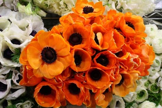 Anemone portocalii