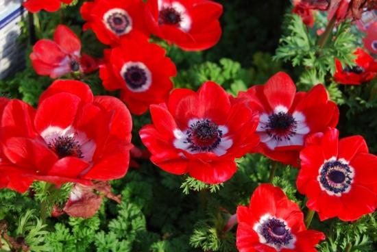 Anemonele - cultivarea, ingrijirea si inmultirea lor