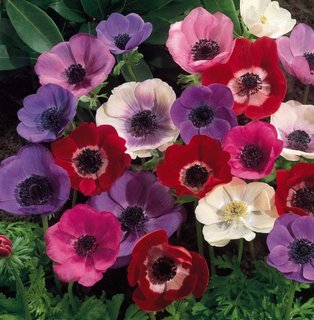 Mix de anemone pentru gradini colorate