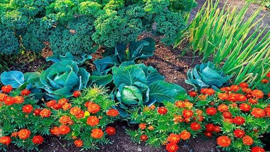 Ce flori se pot plata langa legume