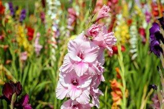Gladiola roz