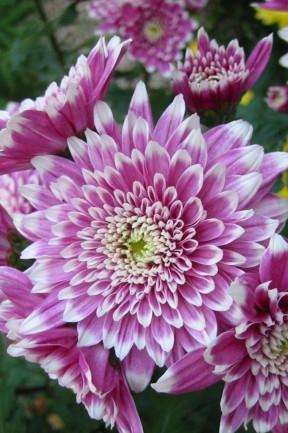 Crizantema mov