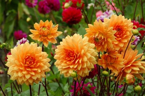 Dalii galbene flori tomnatice