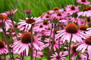 Echinaceea atrage fluturii si alte insecte in gradina