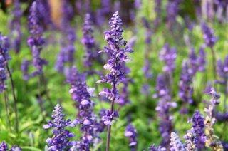 Flori de salvie pentru gradina usor de cultivat si de ingrijit