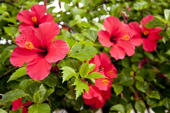Hibiscusul potrivit pentru florile de toamna in gradina