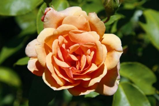 Trandafir de toamna culoarea piersicii Pat Austins