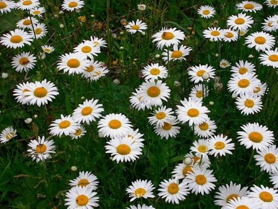 Flori de vara pentru gradina