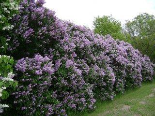 Gard viu cu flori de liliac syringa
