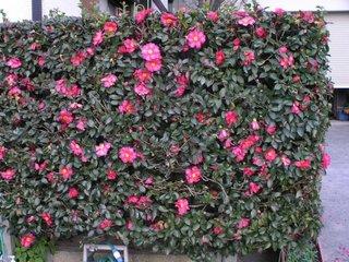 Gard viu cu flori rosii camellia japonica