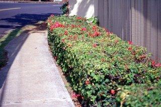 Gard viu pitic cu flori rosii de hibiscus