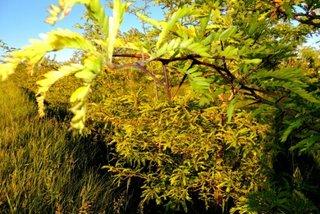 Gladita arbore ornamental pentru gard viu