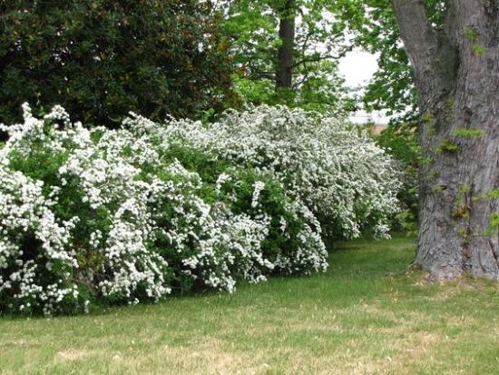Spiraea cununita arbust cu crestere rapida pentru gard viu