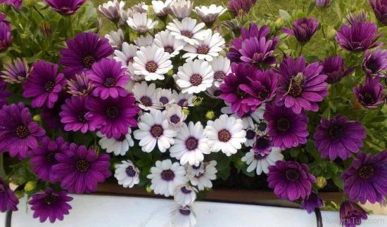 Flori de gazanie albe si mov