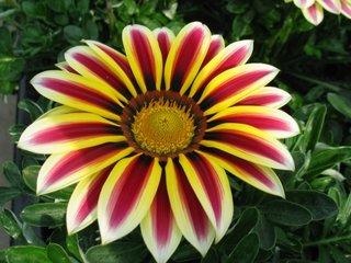 Gazania Kiss bicolora galben cu rosu