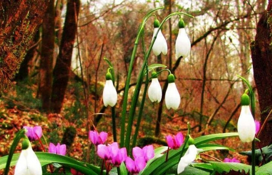 Ghiocelul comun sau Galanthus nivalis - plantare, ingrijire si inmultire