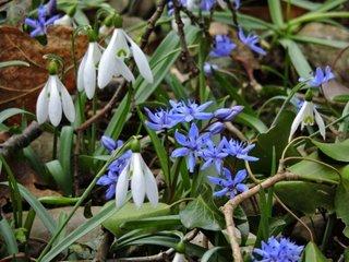 Ghiocei si viorele Scilla Bifolia si Galanthus nivalis