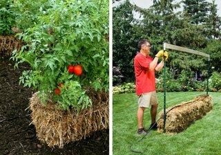 Rosii cultivate in baloti de paie