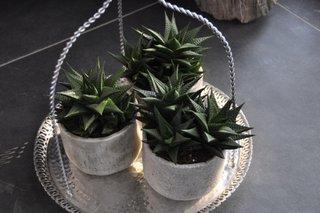 Havortia cactus