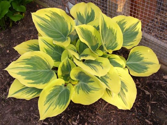 Hosta Gold Standard cu frunze galben cu verde