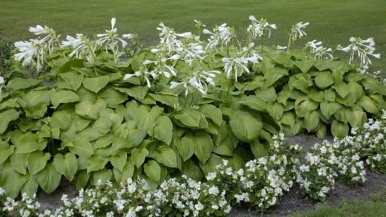 Hosta plantaginea crin cu flori albe