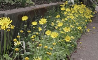 Bordura in gradina cu flori galbene de iarba ciutei