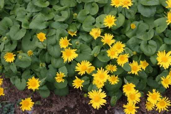 Doronicum orientale sau iarba ciutei