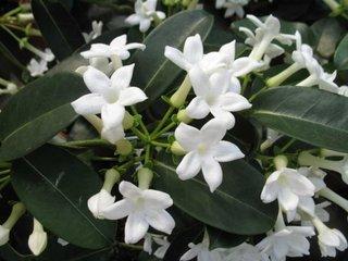 Cum arata floarea de stephanotis