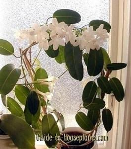 Iasomia de Madagascar - o floare de care pur si simplu m-am indragostit