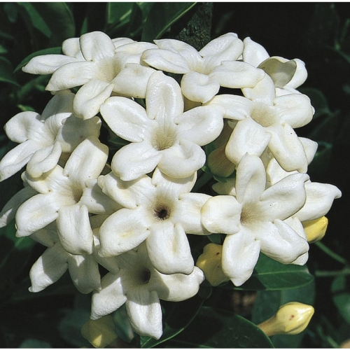 Floare de stephanotis sau Iasomie de madagascar