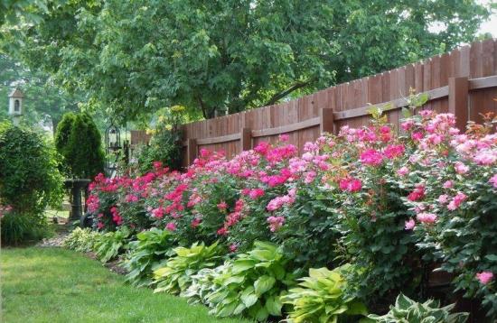 Flori mari de bujori de gradina