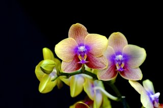 Orhidee Phalenopsis galbena