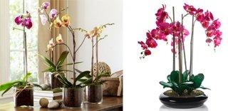 Provocare inflorire noua la orhidee