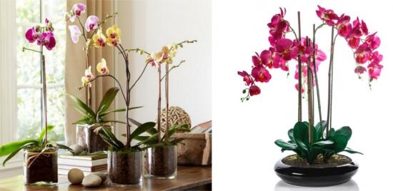 Cum se provoaca o noua inflorire la orhidee
