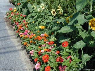 Carciumarese pitice plantate in borduri