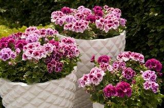 Muscata englezeasca cu flori violet mov