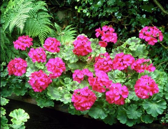 Muscata obisnuita geranium roz