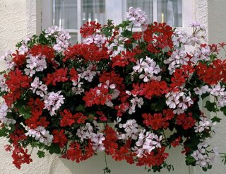 Muscate curgatoare albe si rosii Pelargonium peltatum
