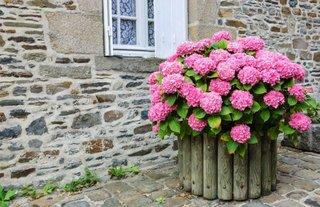 Hortensii frumoase roz