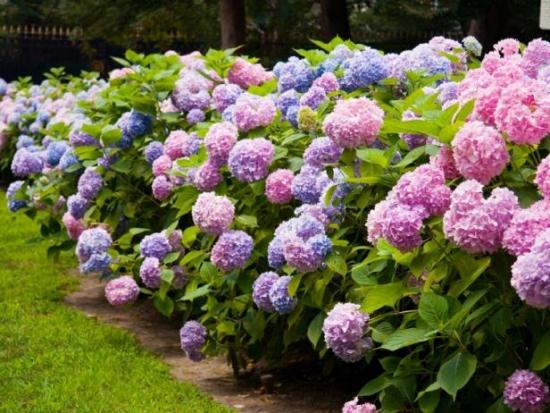 Hortensii mari violet