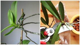 Cum se inmulteste orhideea