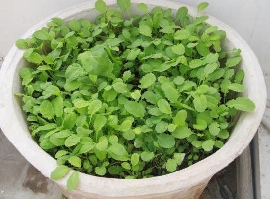 Plante de mustar plantate in ghiveci